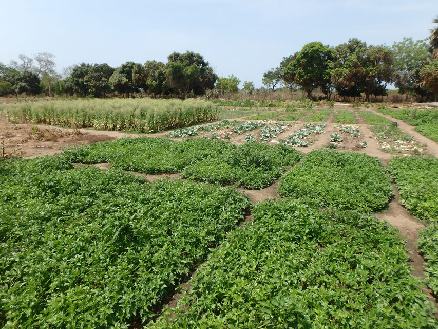 Community vegetable garden, Tumani Tenda, Gambia