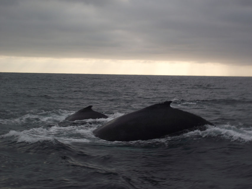whale watching Puerto Lopez