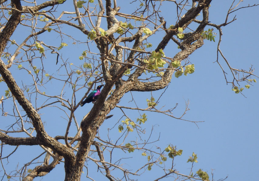 Purple glossy starling - Tumani Tenda - Gambia