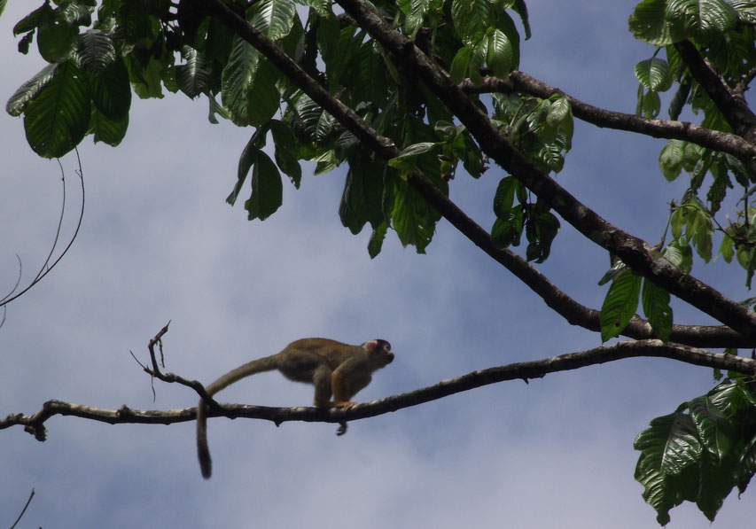 Spider monkey in Villa Tunari, Bolivia
