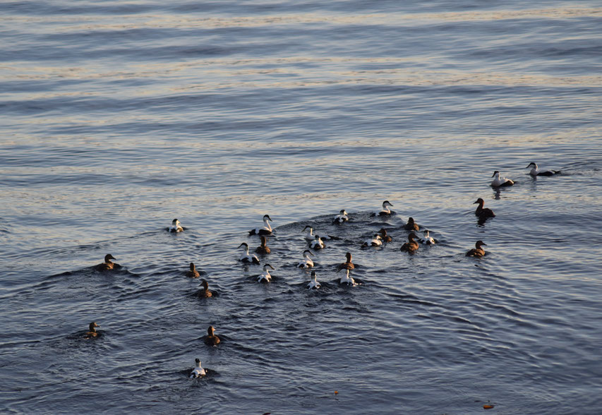 Eider Ducks, East Fjords, Iceland
