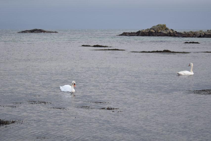 Swans, Ardtalla, Scotland