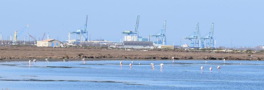 Flamingos, Carmargue