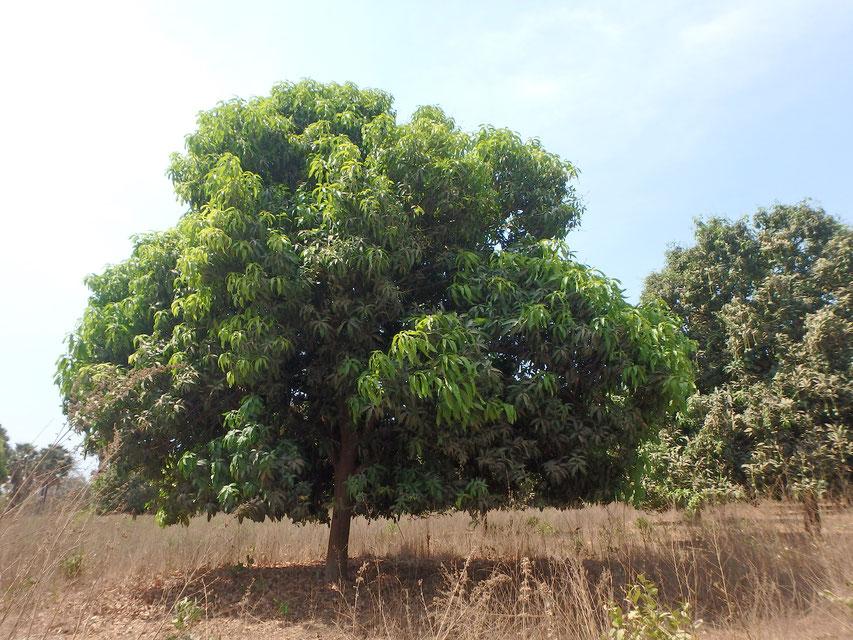 sliced mango tree, Tumani Tenda, Gambia