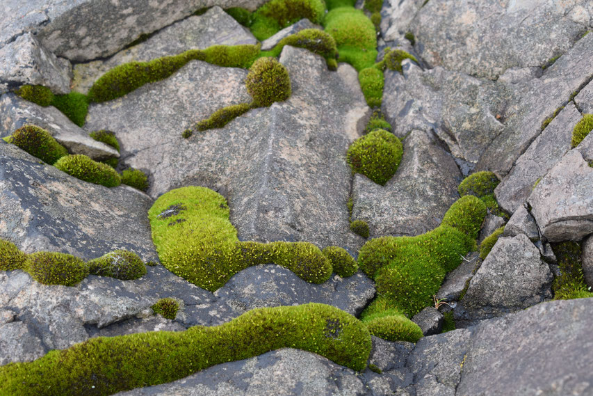 moss on rock, beach, Iceland