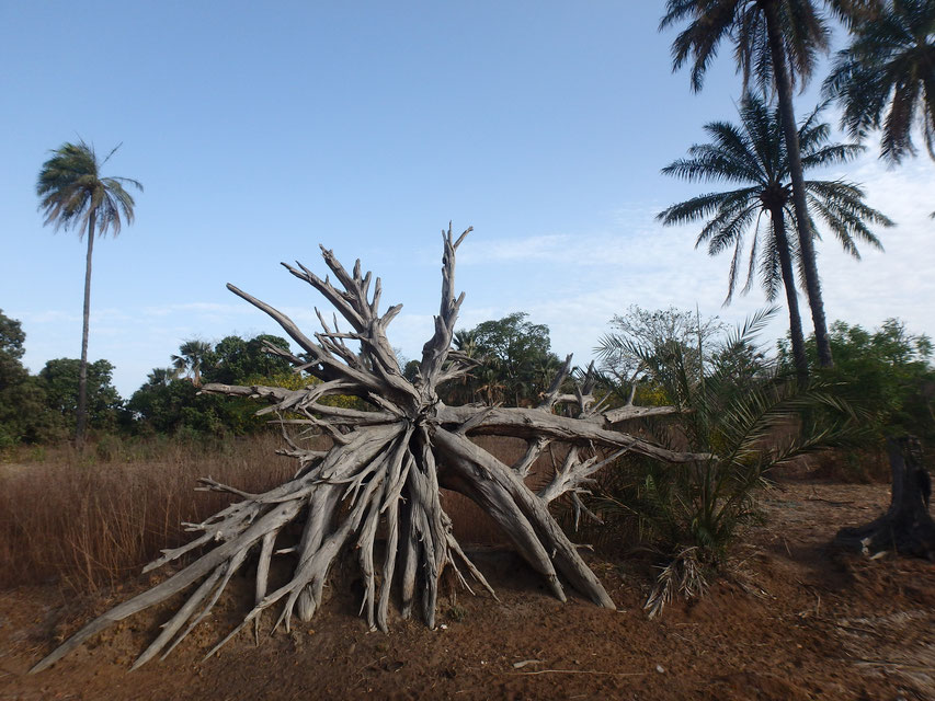 tree roots, Tumani Tenda