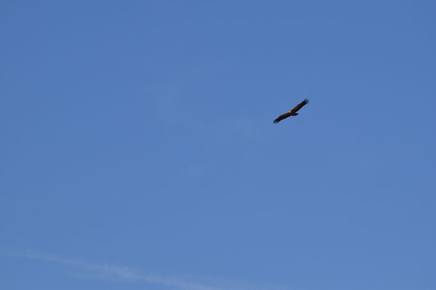 Vulture flying, Emblase de Linares, Spain
