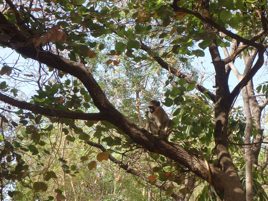Green Monkey - Janjanbureh Camp