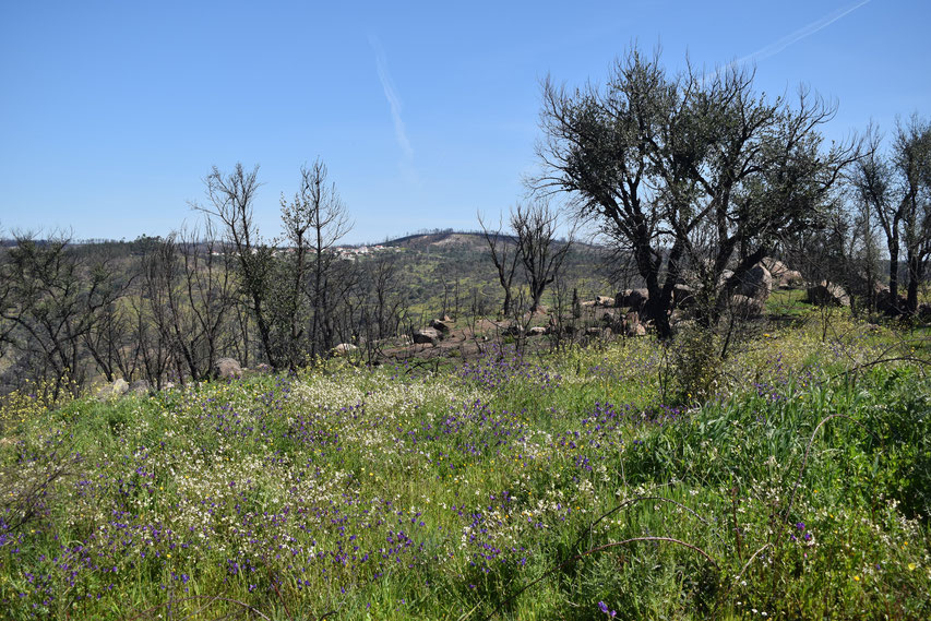burnt trees and wild flowers between Gavião and Belver