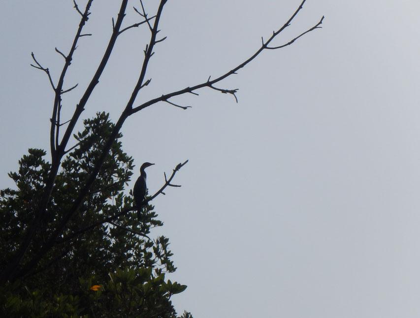 Long tailed cormorant - Tumani Tenda - Gambia