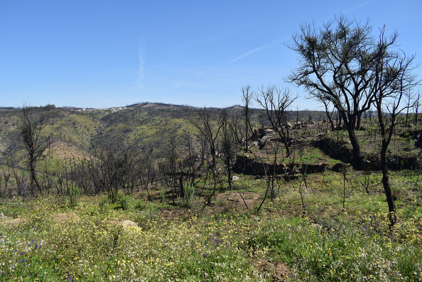 burnt trees and wild flowers between Gavião and Belver, Portugal