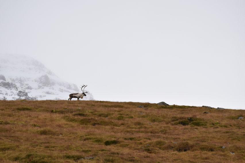 Reindeer, East Fjords, Iceland