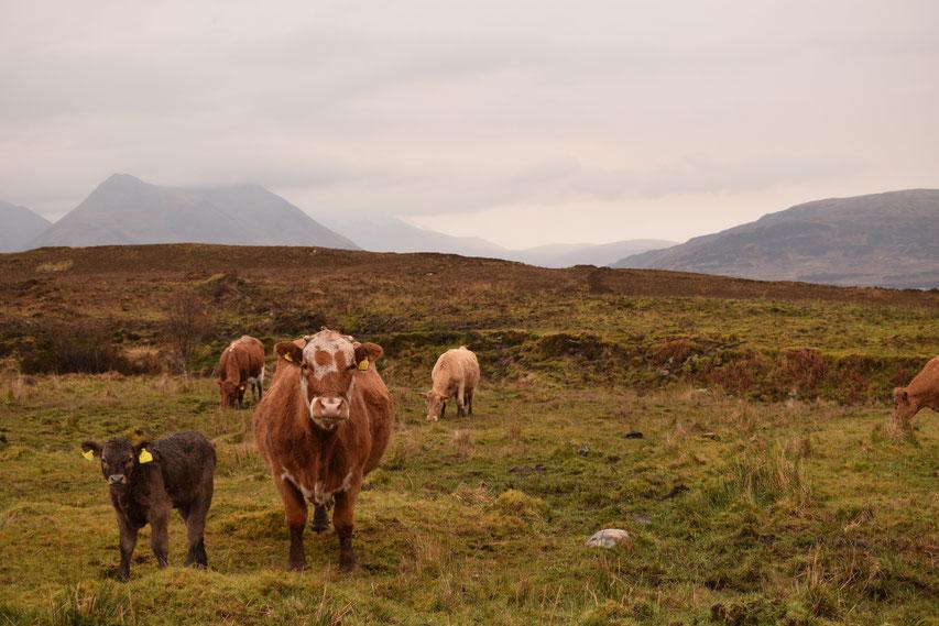 Cows, Raasay