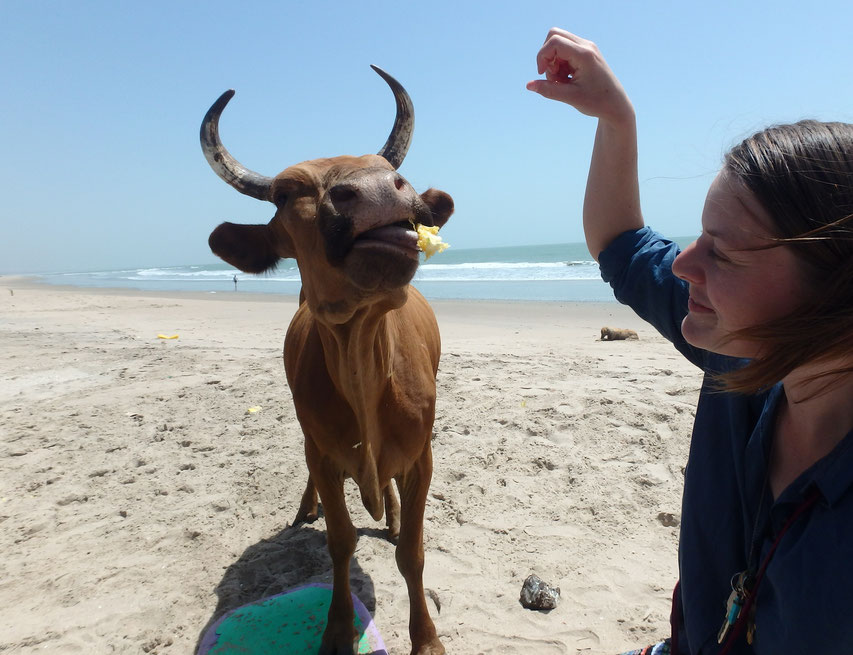 cow eating mango skin, Sanyang beach