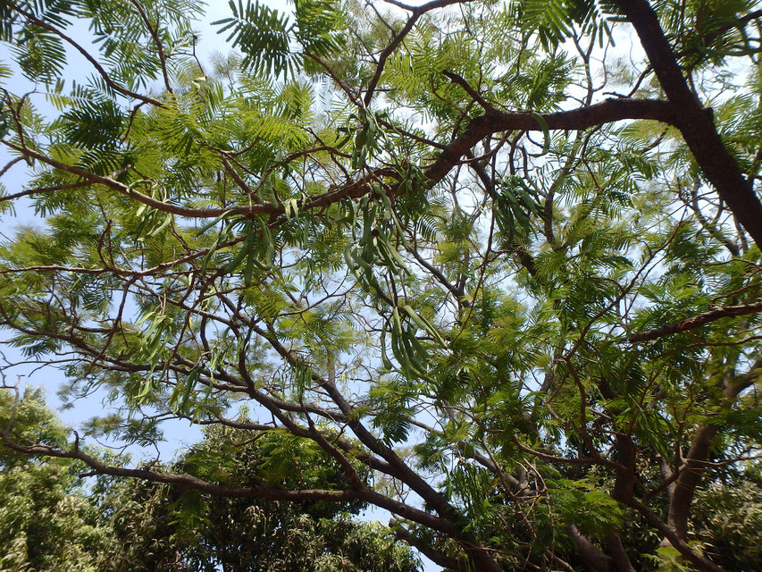 African locus bean, natural medicine, Tumani Tenda, Gambia