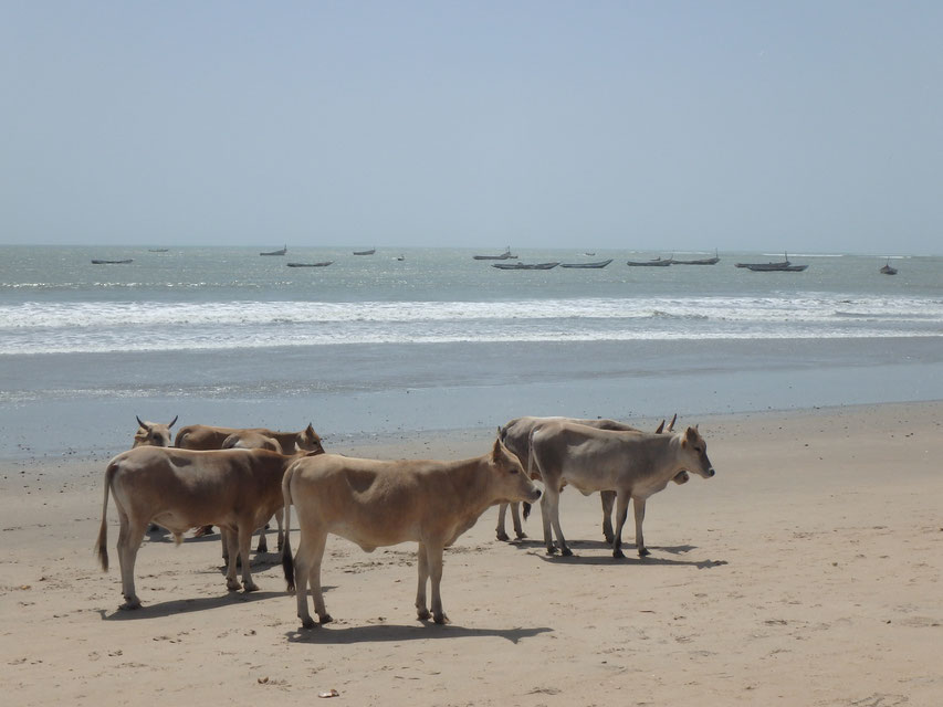 Sanyang, Gambia - cows on the beach