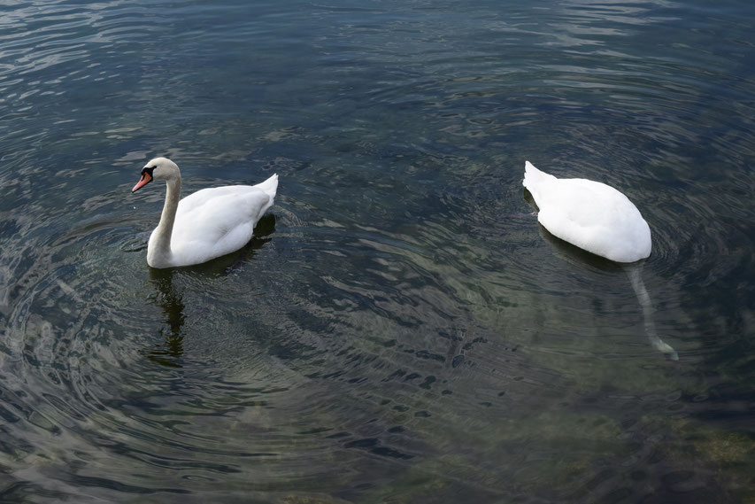 swans Lac du Bourget, France