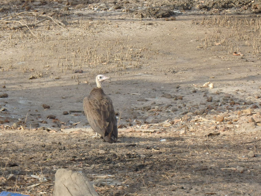 hooded vulture, Tumani Tenda, Gambia