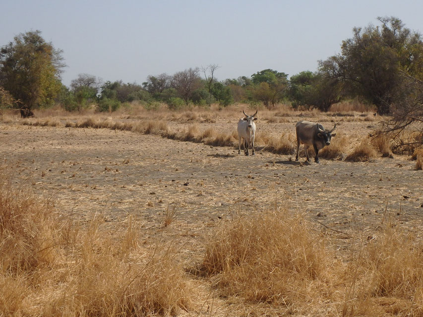 Farmland around Lamin Koto