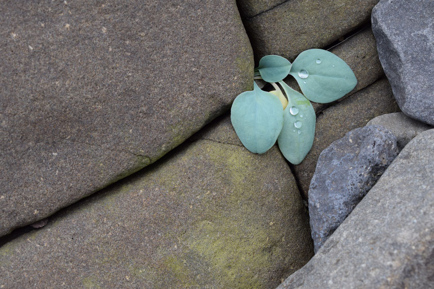 small plant growing from rock, Iceland