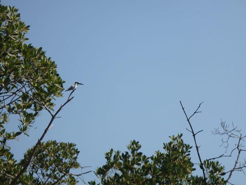 Pied kingfisher, Tumani Tenda, Gambia