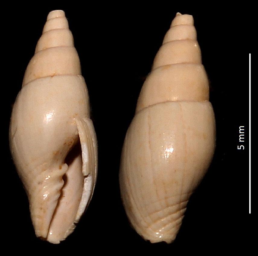 Conomitra eburnea, Miocene francese