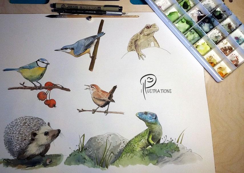 illustration, illustrations, nature, naturaliste, panneaux, pédagogiques, aquarelle
