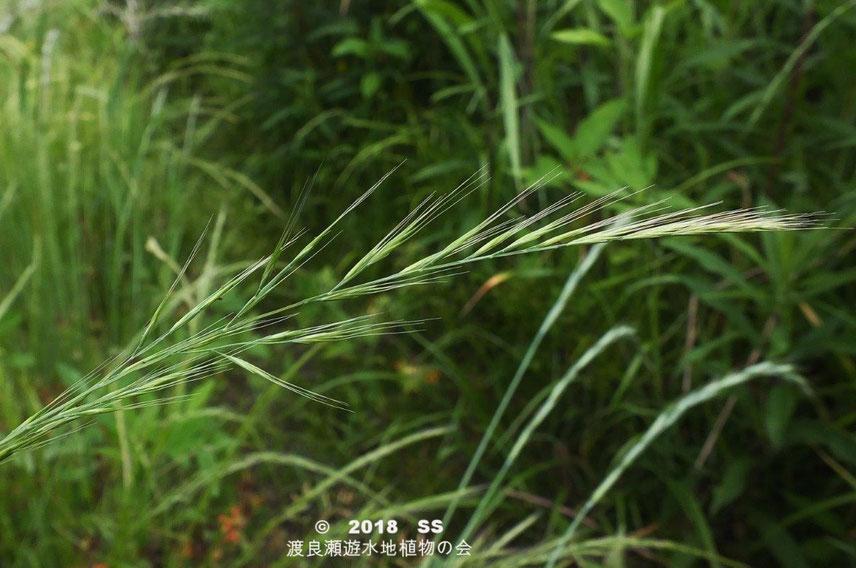 渡良瀬遊水地に生育しているナギナタガヤの花穂の画像