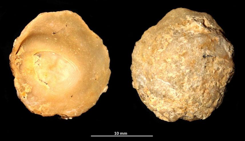 Anomia ephippium, sabbie di Tarquinia (VT)