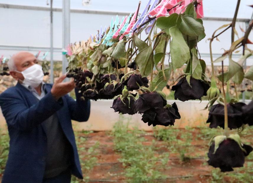 Rosa nera di Halfeti (foto Dailysabah)