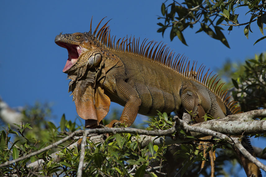 Grüner Leguan (Iguana i. rhinolopha), Männchen