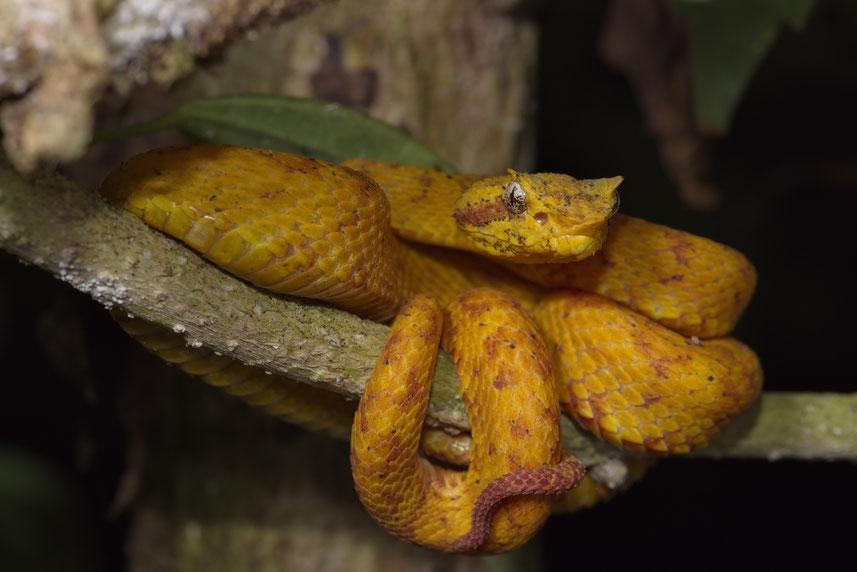 Greifschwanzlanzenotter (Bothriechis schlegelii) - Lokal Bocaracá und in der gelben Morphe Oropel genannt