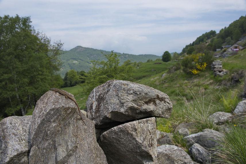 Mauereidechse mit Panoramaaussicht