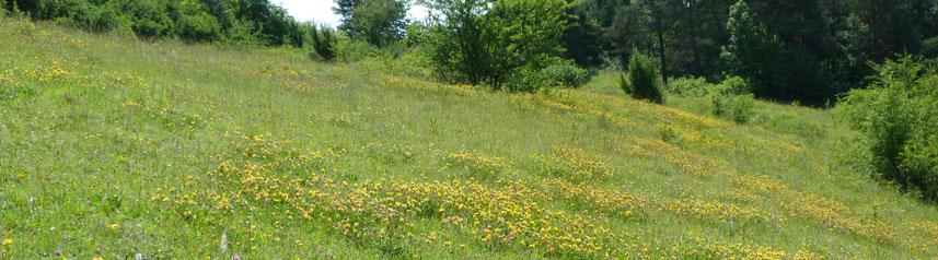 Ein gelber Blütenteppich mit Büschen und Bäumen im Randbereich