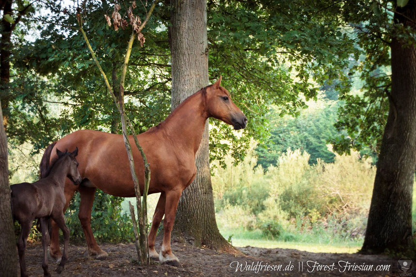 fabella von den waldfriesen  eine fuchsfriesenstute | www.waldfriesen.de www.forest-friesian.com | fuchsfriesen chestnut friesian fox friesian red friesian purebred | foto www.visovio.de