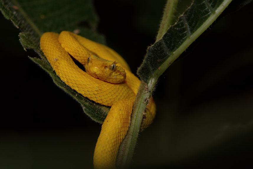 Greifschwanz-Lanzenotter (Bothriechis schlegelii), Jungtier, Cahuita