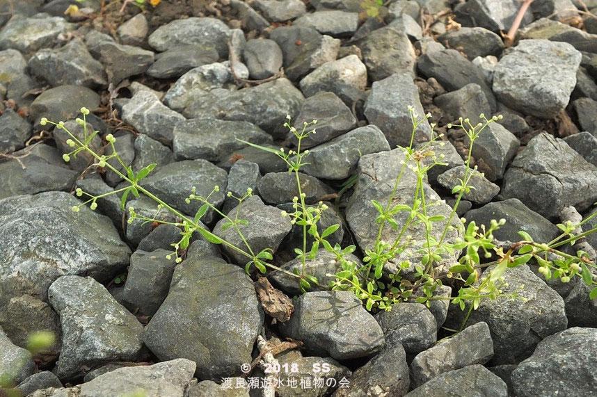 渡良瀬遊水地に生育するヒメヨツバムグラの全体画像と説明文書