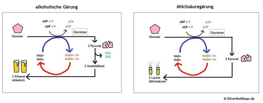 Wie unterscheiden sich alkoholische Gärung und Milchsäuregärung ...
