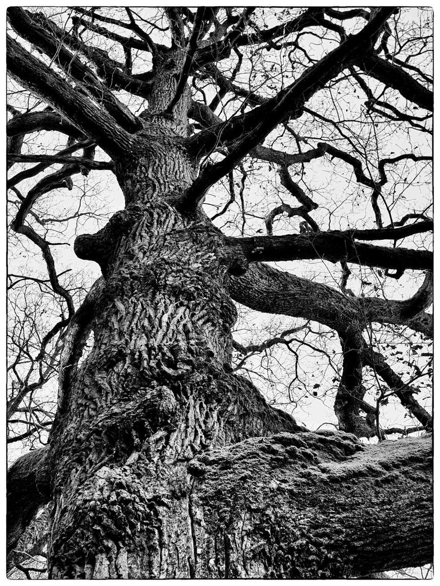 Le chêne écouplé à Fontenai les Louvets