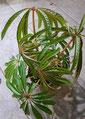 Begonia luxurians Wien kaufen