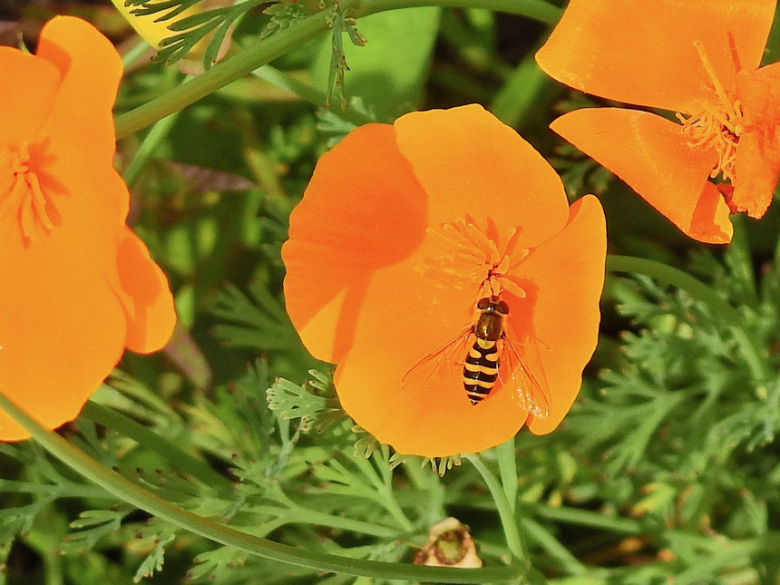 Garten-Schwebfliege - Stahfleeg - Syrphus ribesii - Hoverfly