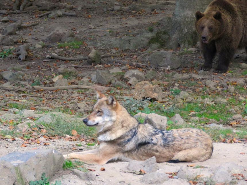 Wolf Canis lupus SabineRümenap wildes Ostfriesland