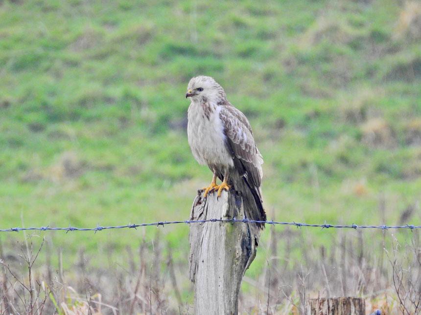 Mäusebussard - Buteo buteo - Common buzzard- Sabine Rümenap - wildes Ostfriesland