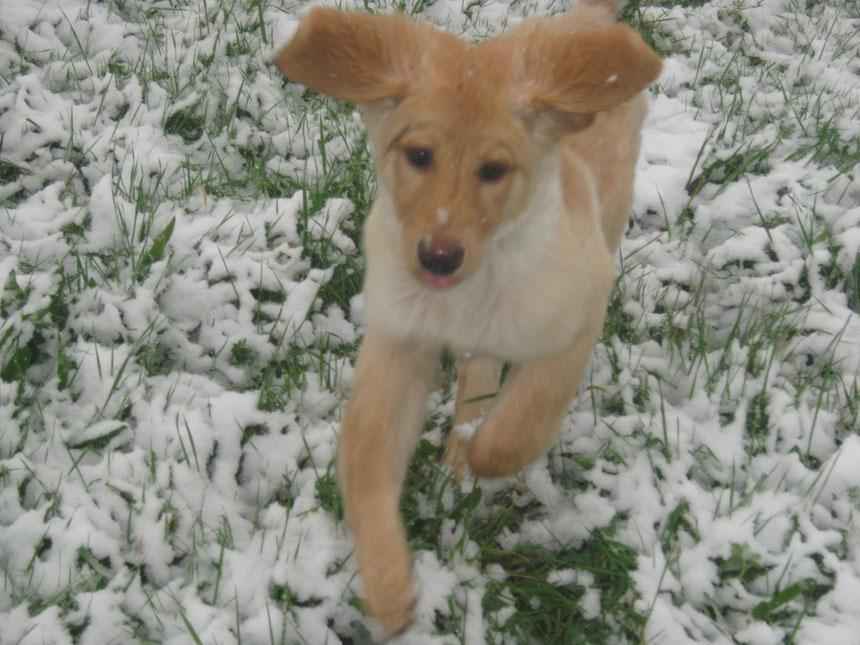 Bellis, das erste Mal im Schnee