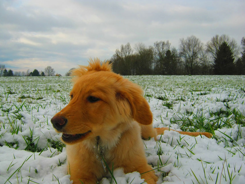 Bellis im Schnee