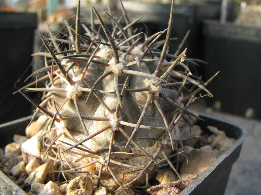 Griseoviolacea,