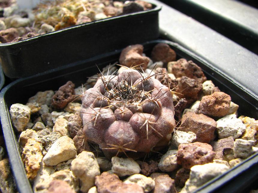 Ahremephiana olv33, semina 2010