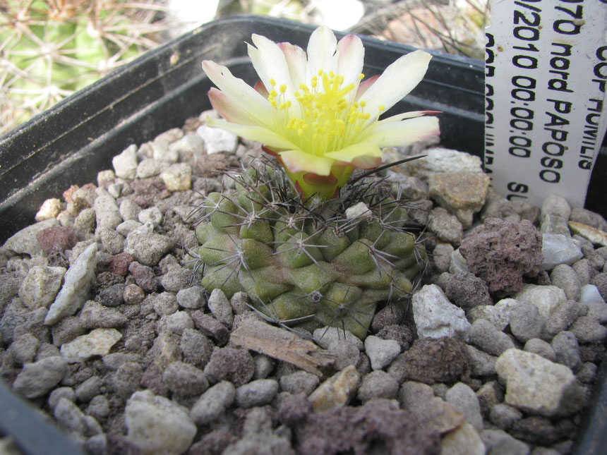 humilis, nord paposo ,2010 seedling.intesting grown.it's starting to develop a long one spine.