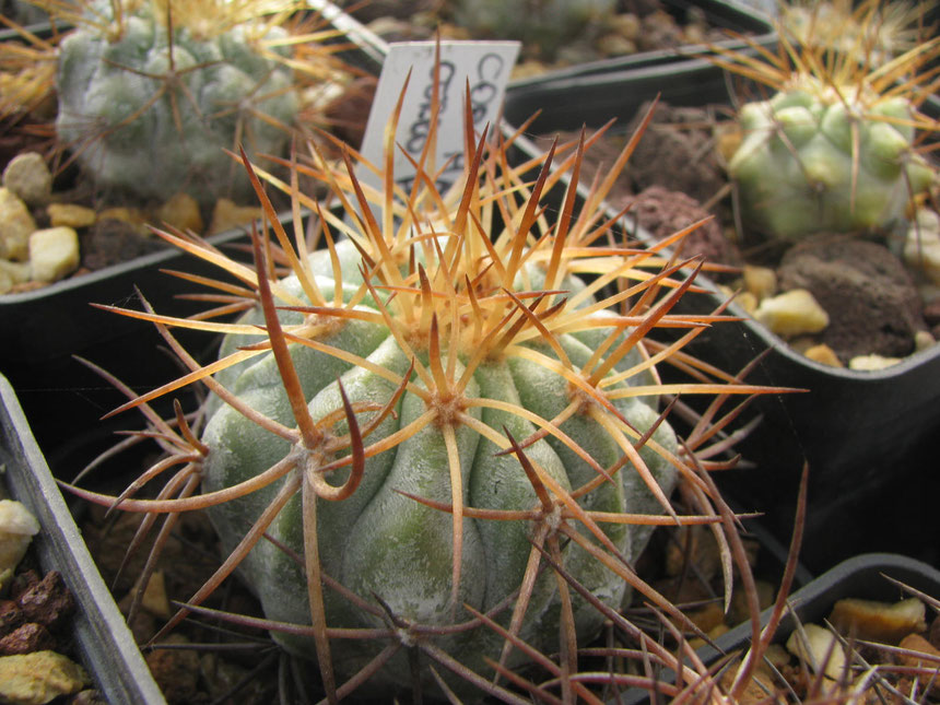 A nice form of haseltoniana from Cerro Perales with long twisted spines.Seeds collected from my friend Bart in 2007