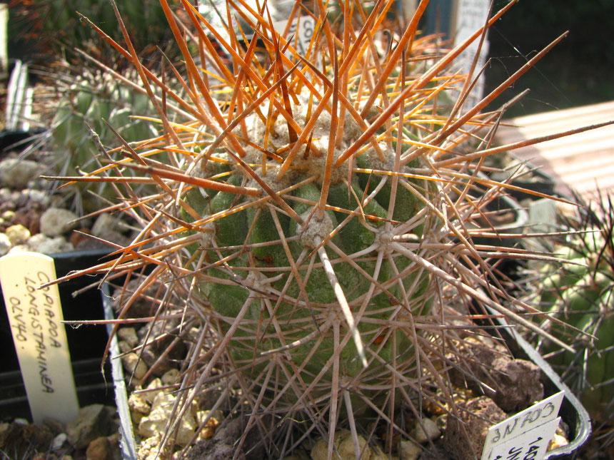 taltalensis, quebrada cachina, pianta proveniente dalla coll Giani